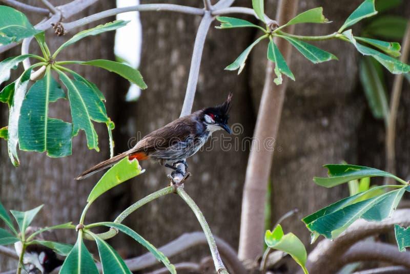 Птица вызвала Красно--Whiskered Bulbul или jocosus Pycnonotus на дереве стоковая фотография rf