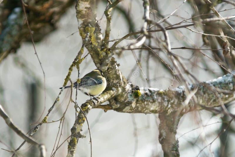 Птица вызвала Goldfinch большей синицей на деревянном доме стоковые изображения rf