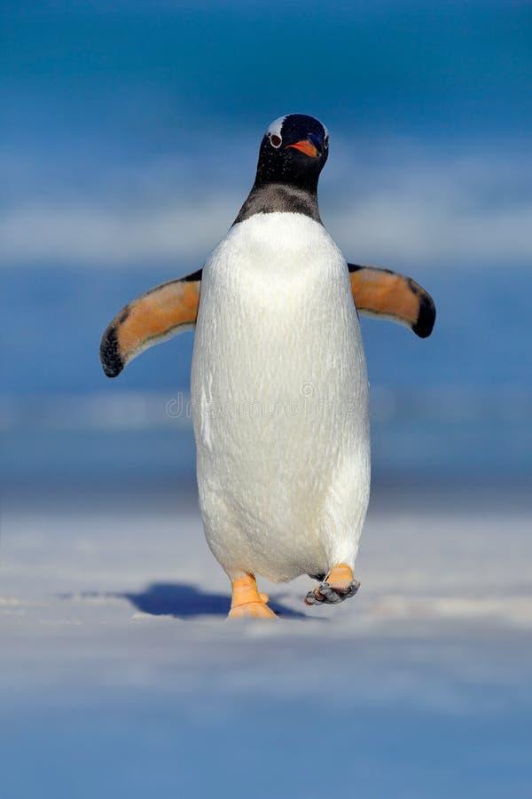Птица в воде, пляж с белым песком Пингвин Gentoo скачет совершенно неожиданно вода пока плавающ через океан в Falkland Islan стоковые изображения
