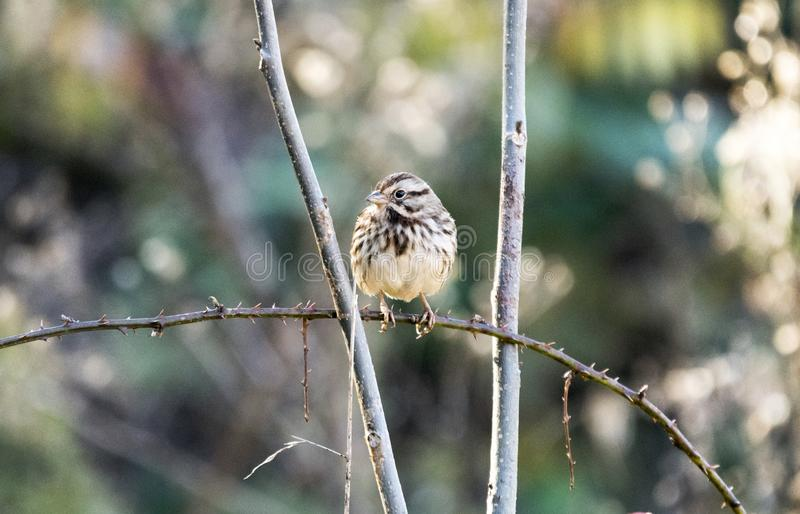 Птица в падении, Грузия США воробья песни стоковые изображения rf
