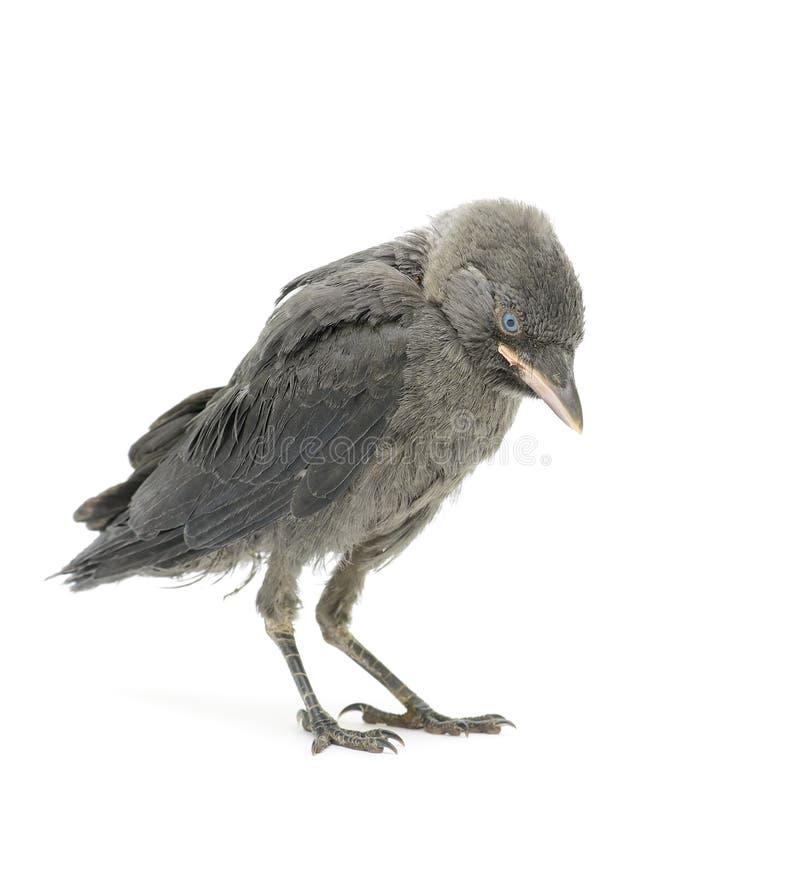 Птица галки на белой предпосылке стоковые фотографии rf