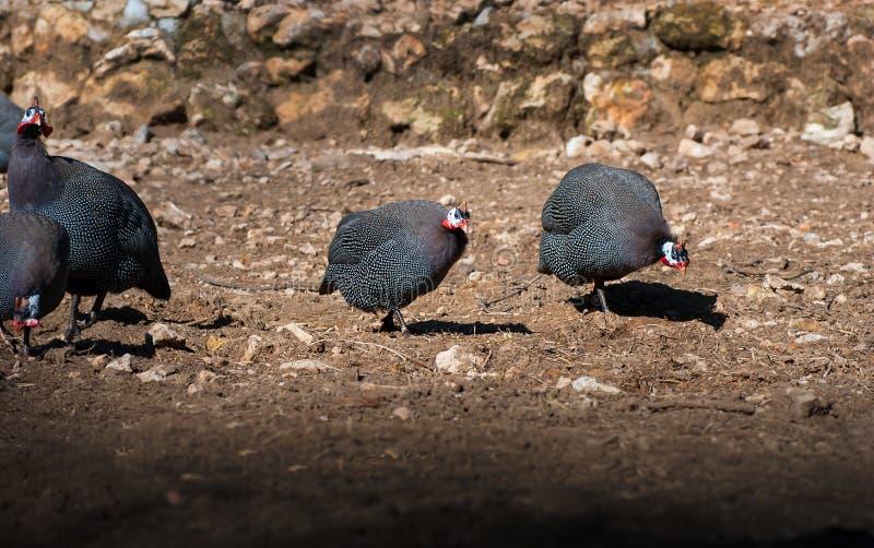 Птица гинеи Numididae в касках идя на том основании стоковое фото