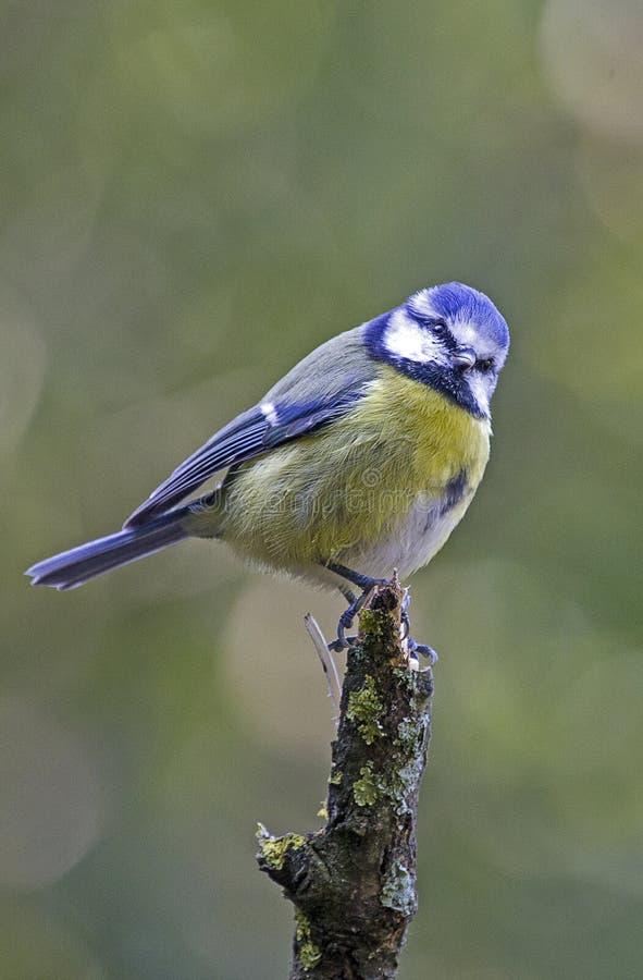 Птица голубой синицы садить на насест на пне дерева стоковое изображение rf