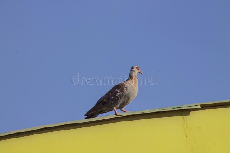 Птица голубя на крыше здания стоковые фото