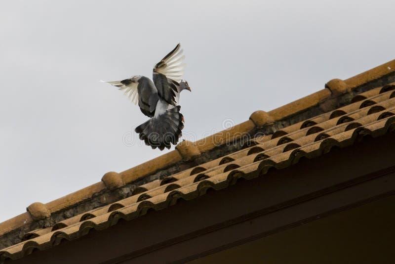 Птица голубя причаливая для садиться на насест на домашней крыше стоковые фото