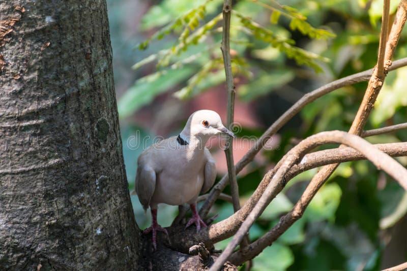Птица голубя серого цвета стоковая фотография