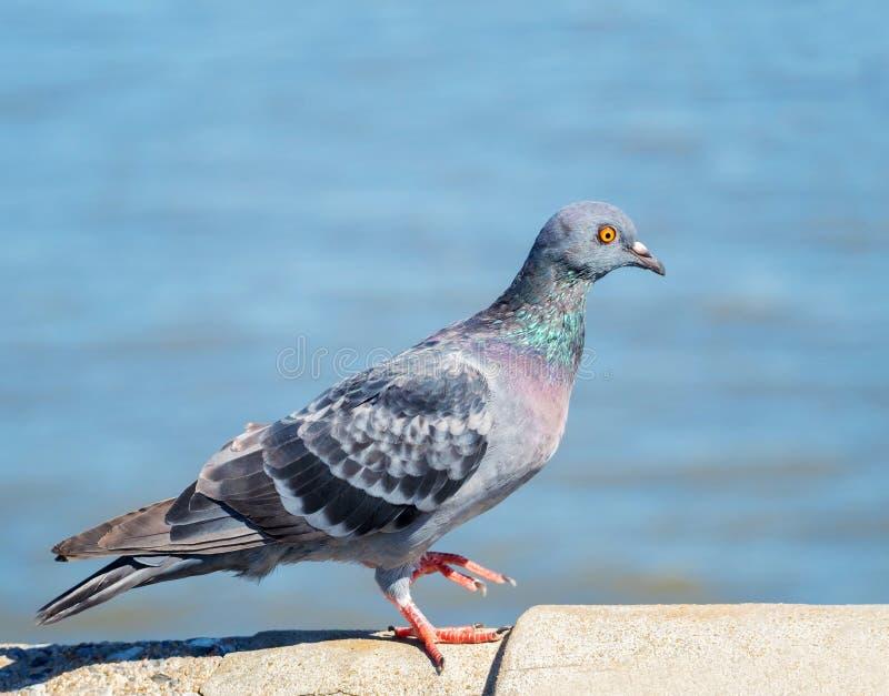 Птица голубя в природе на нерезкости предпосылки воды стоковые фото