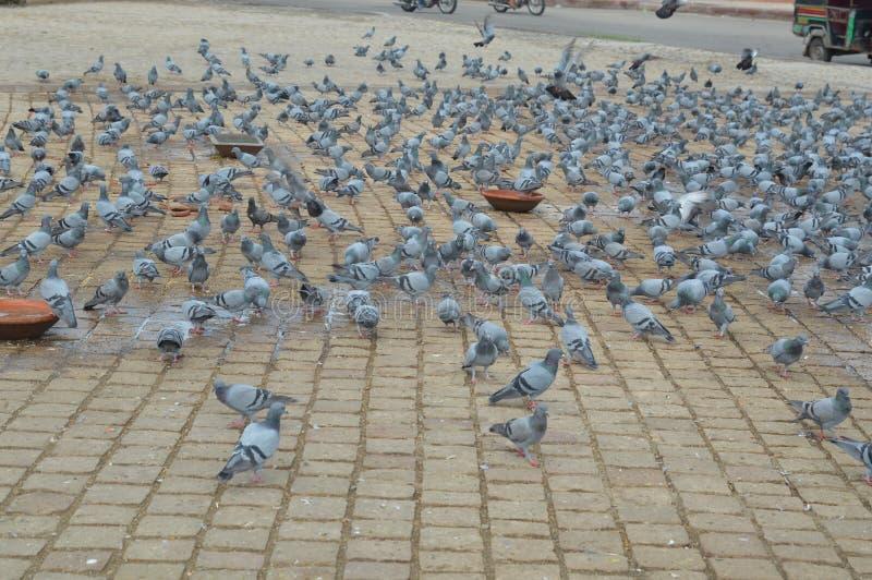 Птица голубя утеса стоковое изображение rf
