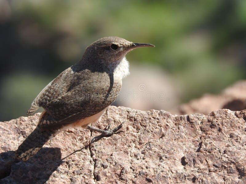 Птица гранд-каньона стоковая фотография