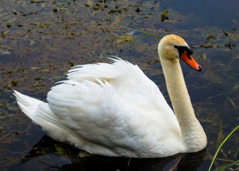 Птица лебедя стоковые изображения