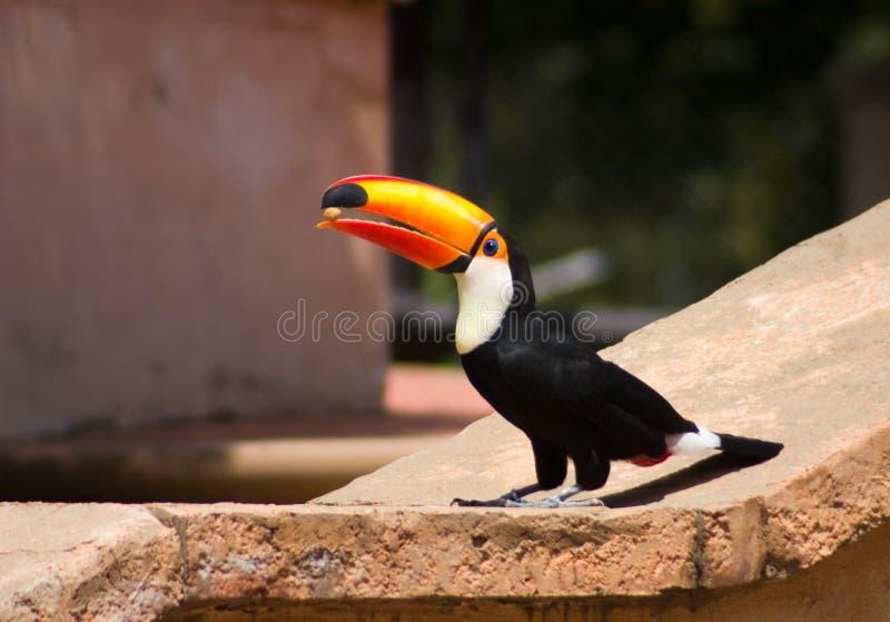 птица есть гайку tucan стоковое изображение