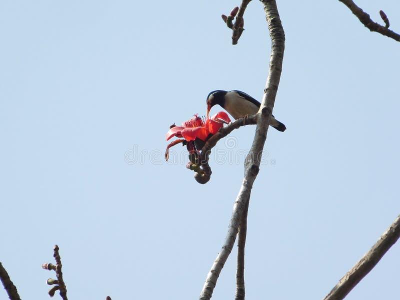 Птица есть цветки дерева хлопка стоковое изображение rf