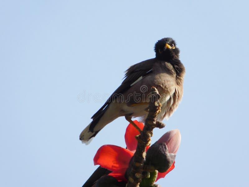 Птица есть цветки дерева хлопка стоковые изображения