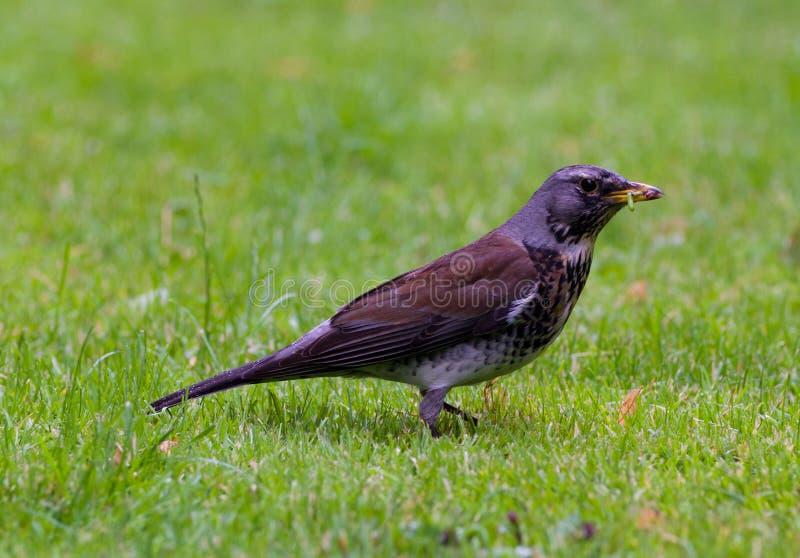Птица есть червя на траве стоковые изображения