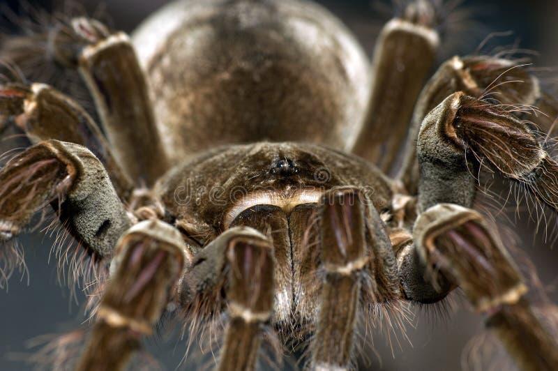 птица есть tarantula goliath стоковые фотографии rf