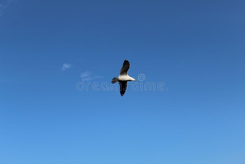 Птица летая высоко в ясное голубое небо стоковые изображения