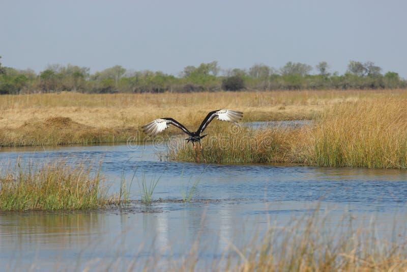 Птица летая над водой стоковая фотография