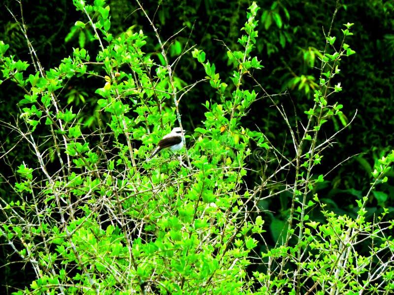 Птица известная как петух поля отдыхая на дереве стоковая фотография