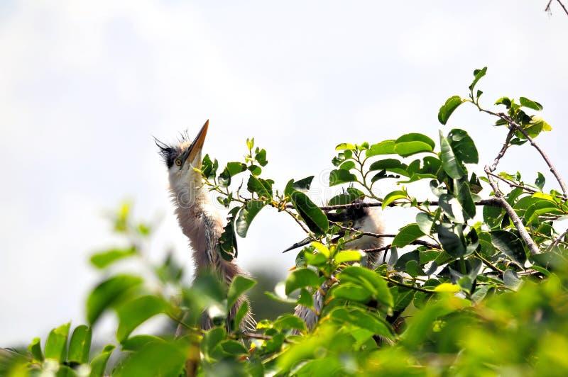 Птица и детеныши цапли большой сини в гнезде стоковое изображение rf