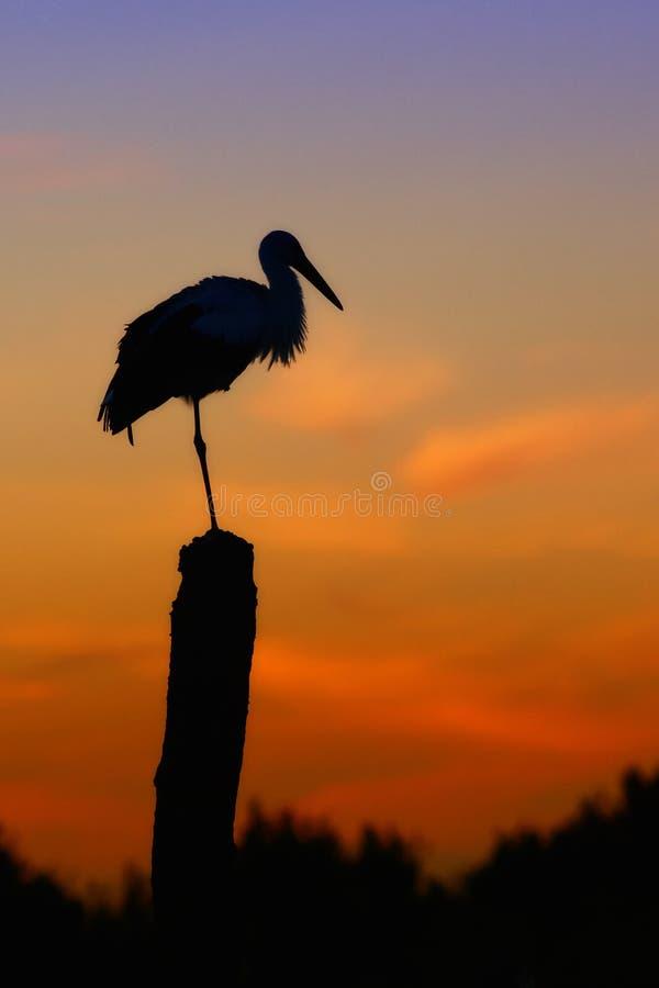 Птица и заход солнца аиста стоковое изображение rf