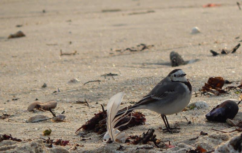 Птица и перо на пляже стоковая фотография rf