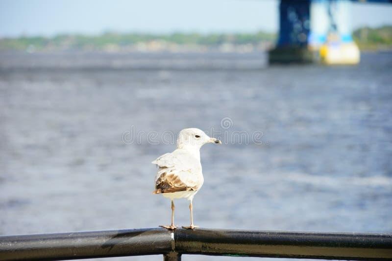 Птица и St. Johns River стоковая фотография rf