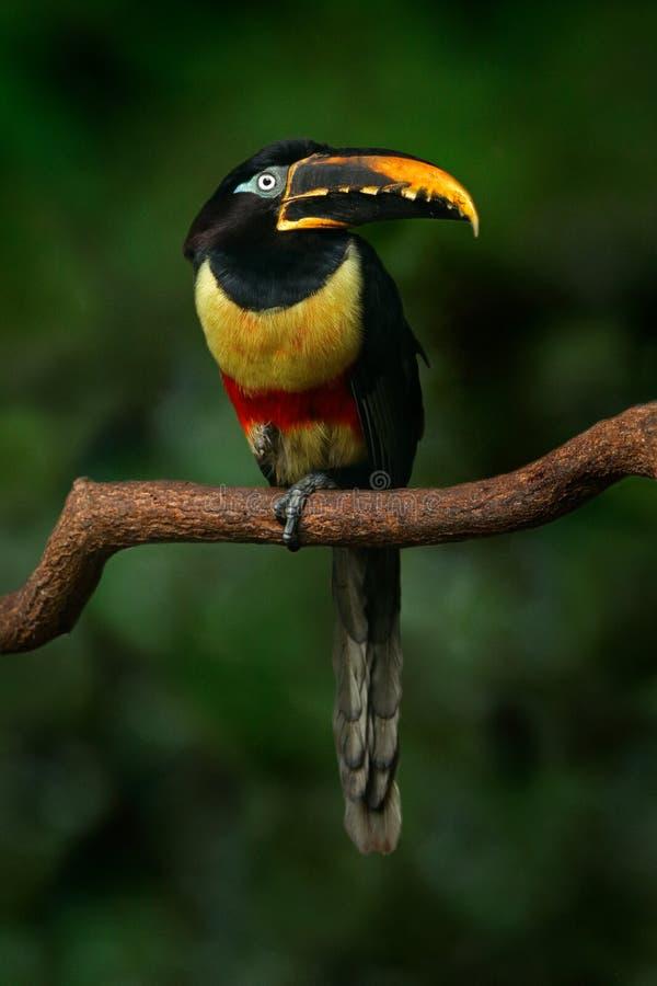 птица Каштан-ушастых castanostis Aracari, Pteroglossus, желтых и черных малая toucan в среду обитания природы Экзотическое животн стоковое фото
