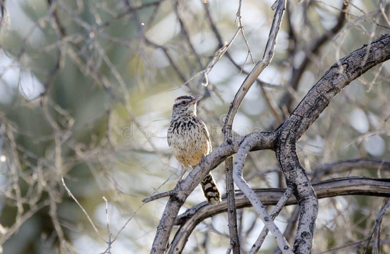 Птица крапивниковые кактуса, пустыня Соноры Tucson Аризоны стоковая фотография