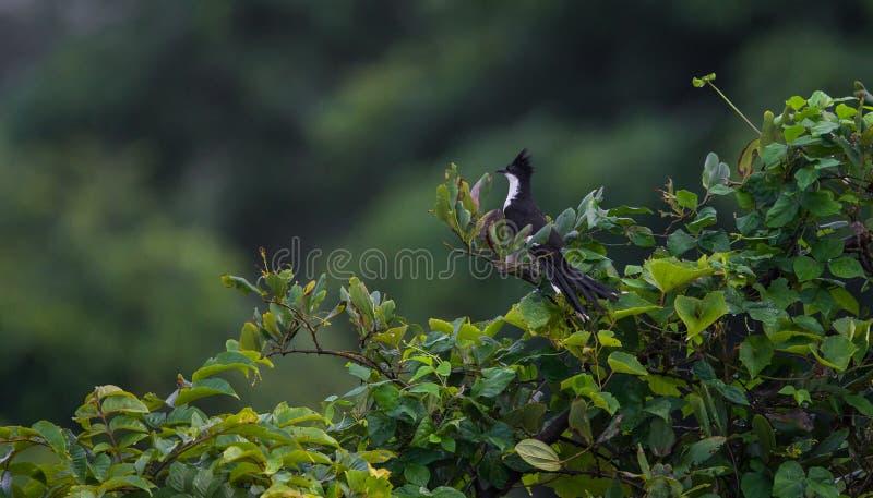 Птица кукушки Jacobin стоковые фотографии rf
