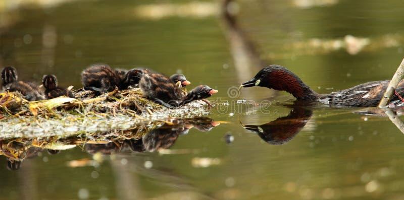Птица маленьких поганковых стоковое фото rf
