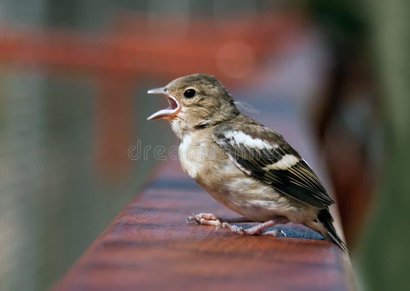 птица младенца tweeting стоковое изображение rf