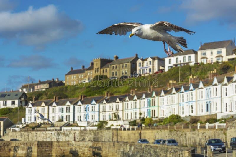 Птица моря летая над рыбным портом Porthlevan стоковое изображение