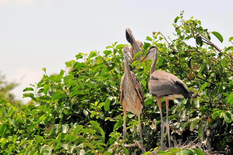 Птица, молодые птицы цапли большой сини в гнезде стоковое изображение rf