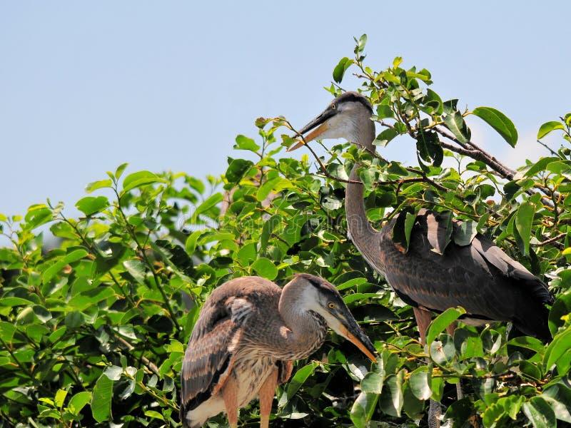 Птица, молодые птицы цапли большой сини в заболоченном месте стоковое фото