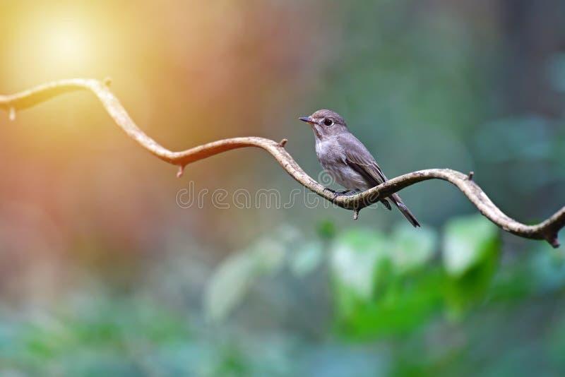 Птица мухоловки Брайна азиата стоковое изображение
