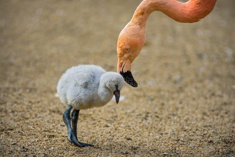 Птица младенца американского фламинго со своей матерью стоковые фотографии rf