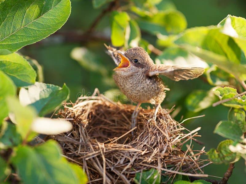 Птица младенца в гнезде стоковое фото rf