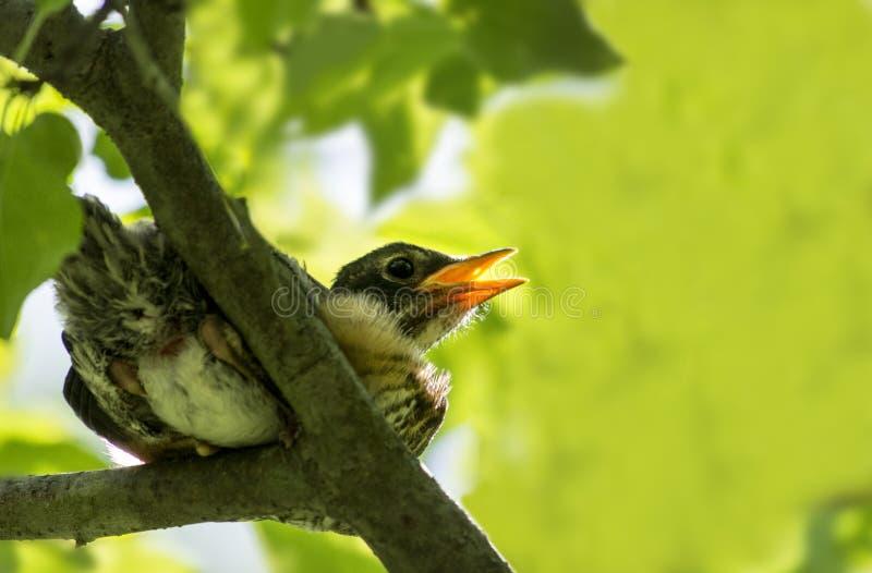 птица младенца голодная стоковые фотографии rf