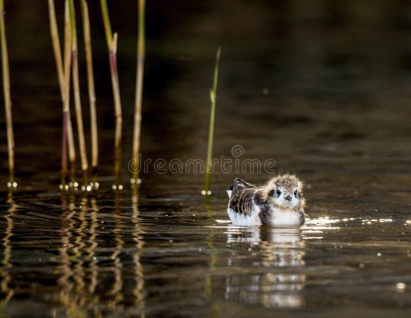 Птица младенца маленькой чайки (minutus Larus) плавает на воду стоковые фотографии rf