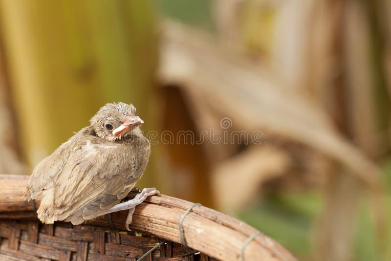 Птица младенца падает от дерева стоковые фотографии rf