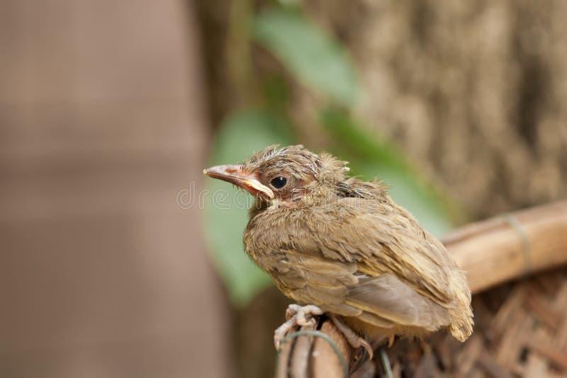 Птица младенца падает от дерева стоковые изображения rf