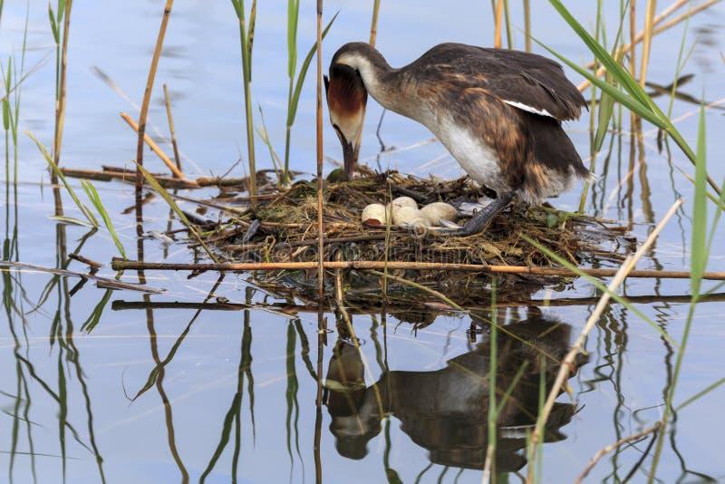 Птица насиживая свои яичка стоковые изображения
