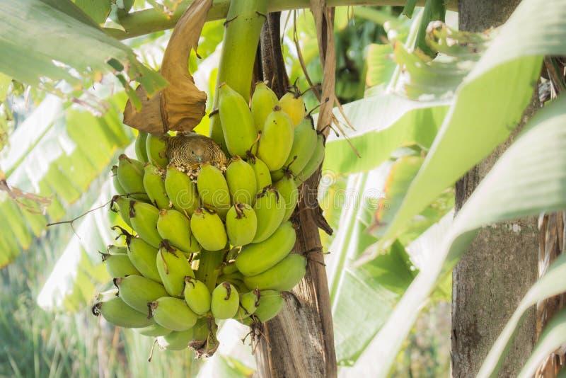 Птица на банановом дереве стоковая фотография