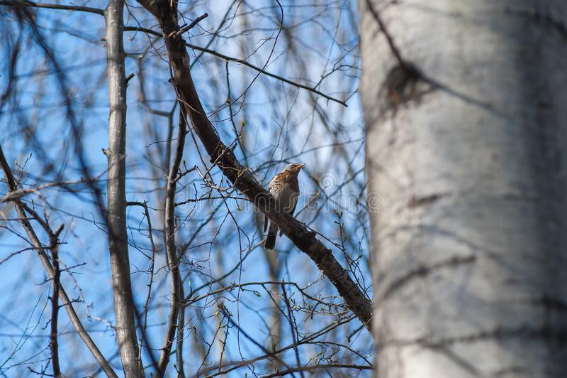 Птица на ветви весной, весна приходит, бутоны зацветает с прибытием птиц иллюстрация вектора