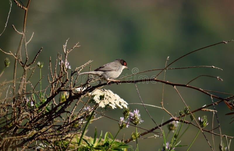 Птица на кусте, melanocephala Сильвии стоковые фотографии rf