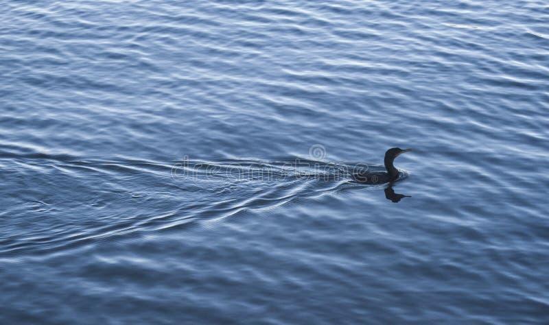 Птица на озере стоковое фото rf