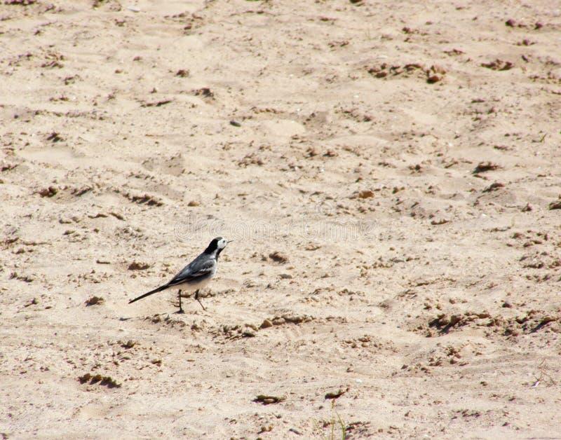 Птица на песке стоковое изображение rf