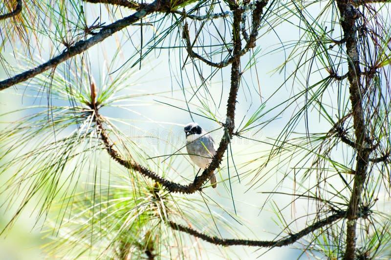 Download Птица на предпосылке сосны стоковое изображение. изображение насчитывающей никто - 40583535