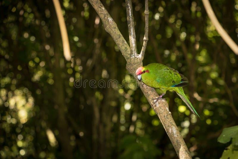 Птица Новой Зеландии длиннохвостого попугая зеленого цвета Kakariki стоковое фото
