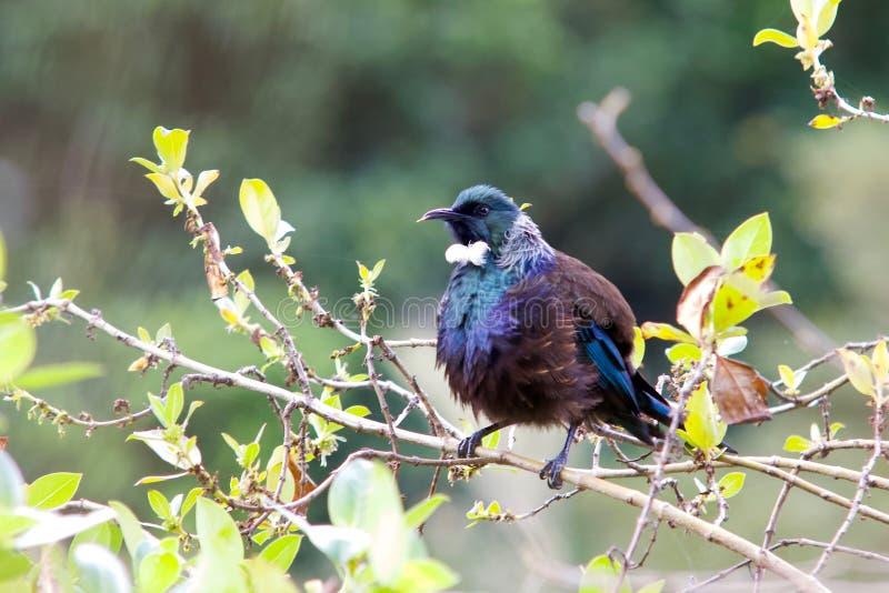 Птица Новой Зеландии Tui стоковая фотография rf